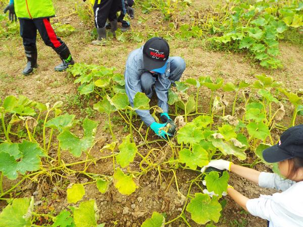 食育かぼちゃ収穫